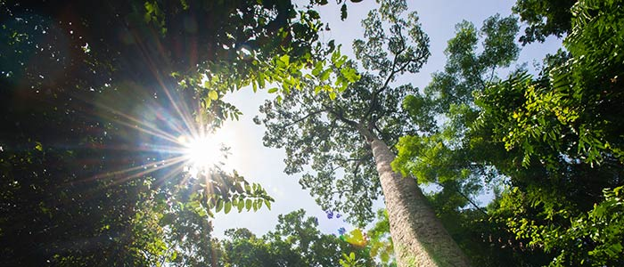 kauri trees looking up